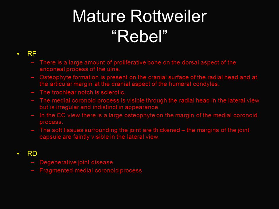 Mature Rottweiler Rebel RF –There is a large amount of proliferative bone on the dorsal aspect of the anconeal process of the ulna.