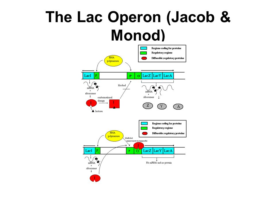 The Lac Operon (Jacob & Monod)