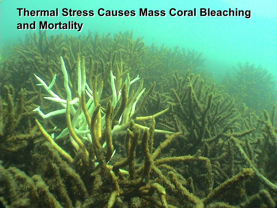 and Mortality Thermal Stress Causes Mass Coral Bleaching and Mortality