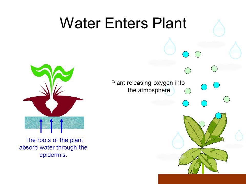 Carbon Dioxide Enters Plants - Carbon dioxide -Oxygen