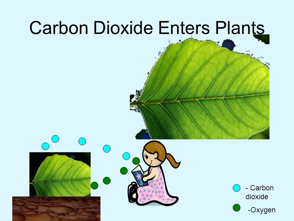 Carbon Dioxide Enters Plants - Carbon dioxide -Oxygen