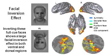 vs. L LR Symmetry Occipital face area Fusiform face area IOS component Facial Inversion Effect Inverting these full-cue faces shows a large facial inv