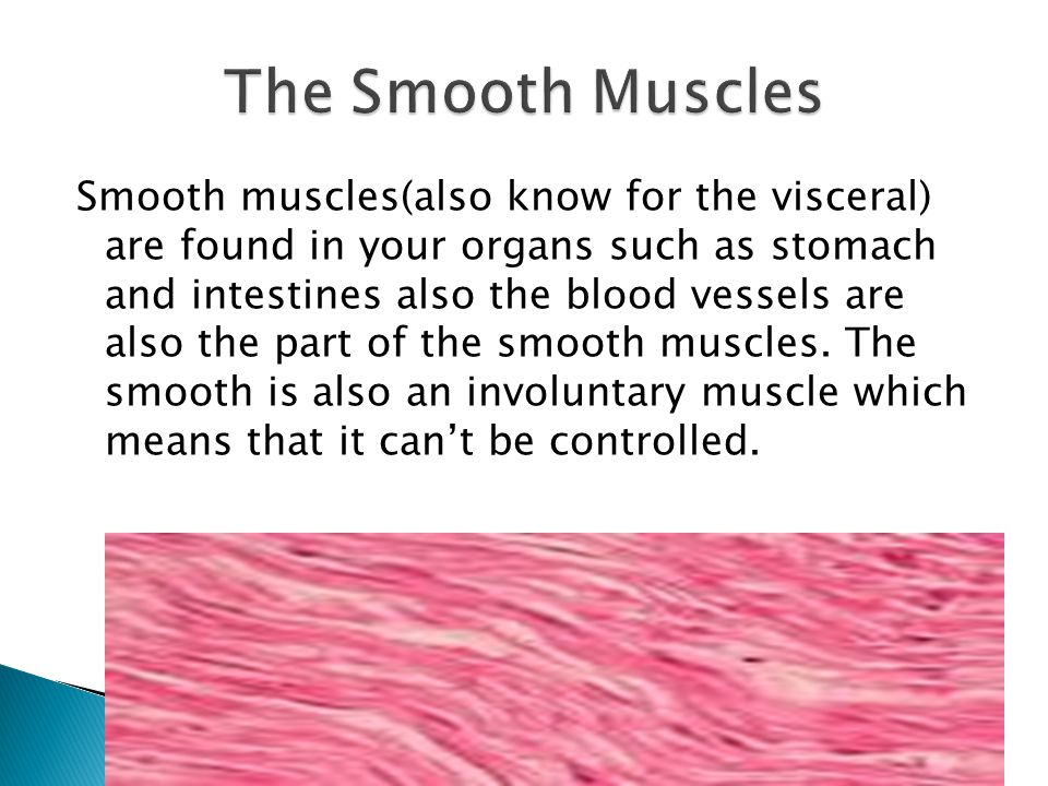 Smooth muscles(also know for the visceral) are found in your organs such as stomach and intestines also the blood vessels are also the part of the smooth muscles.