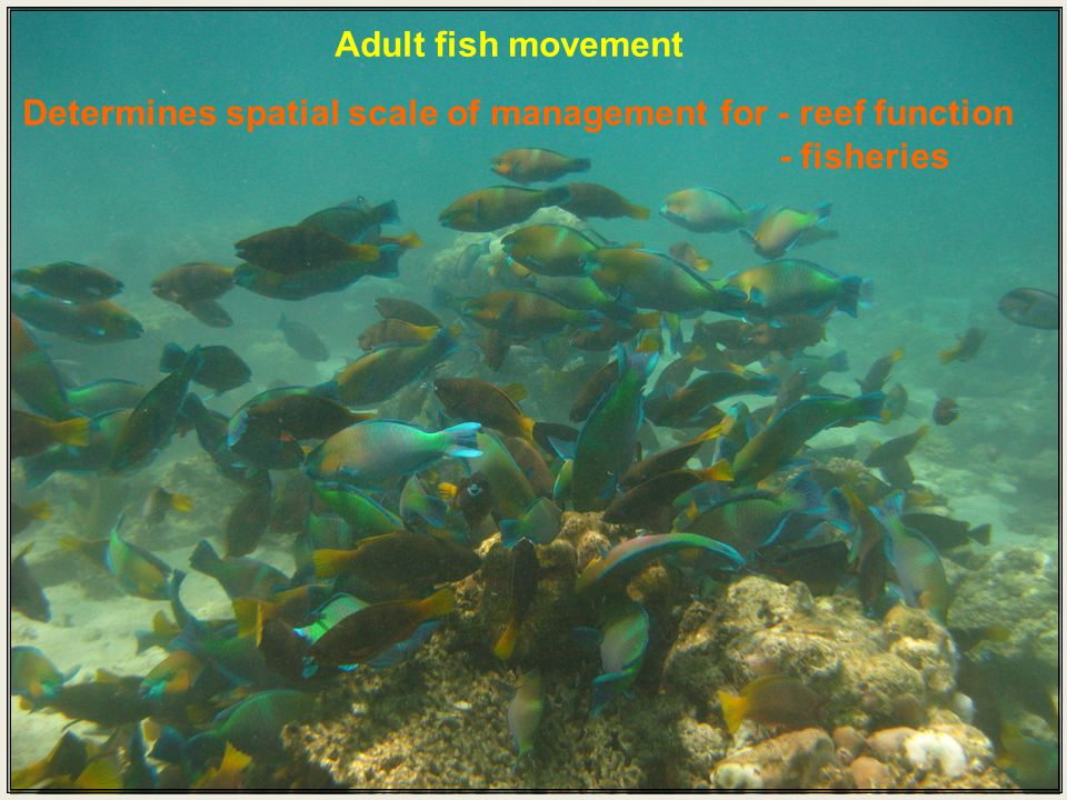 Adult fish movement Determines spatial scale of management for - reef function - fisheries