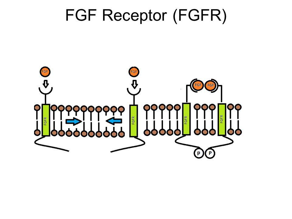 FGF Receptor (FGFR)