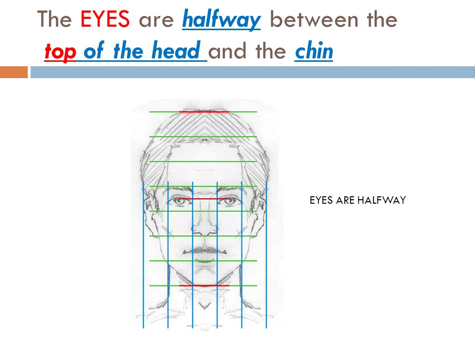The EYES are halfway between the top of the head and the chin EYES ARE HALFWAY