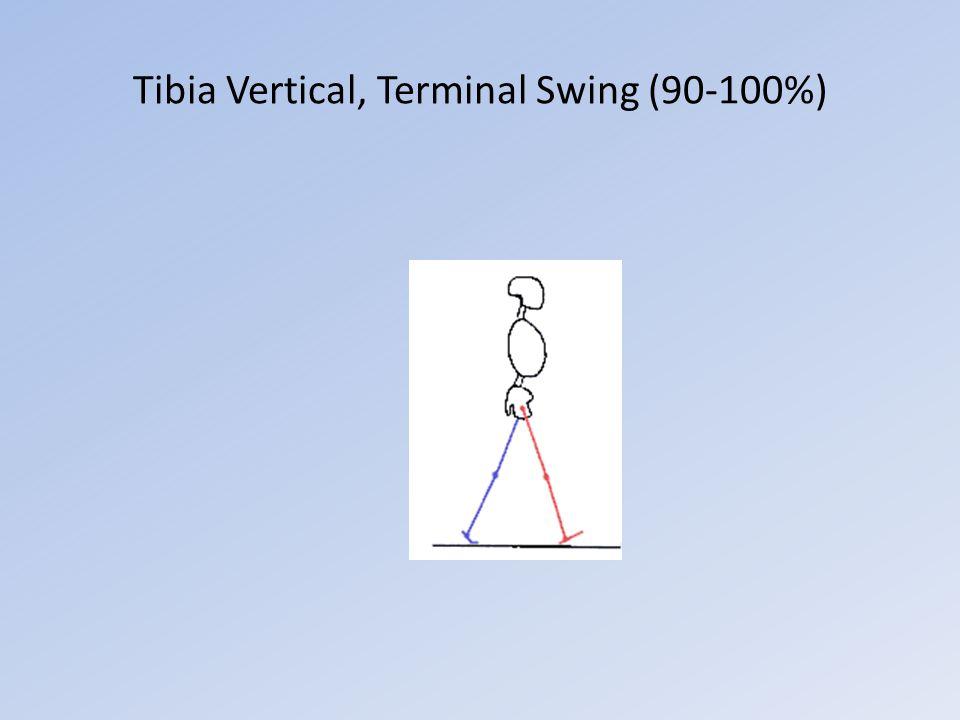 Tibia Vertical, Terminal Swing (90-100%)