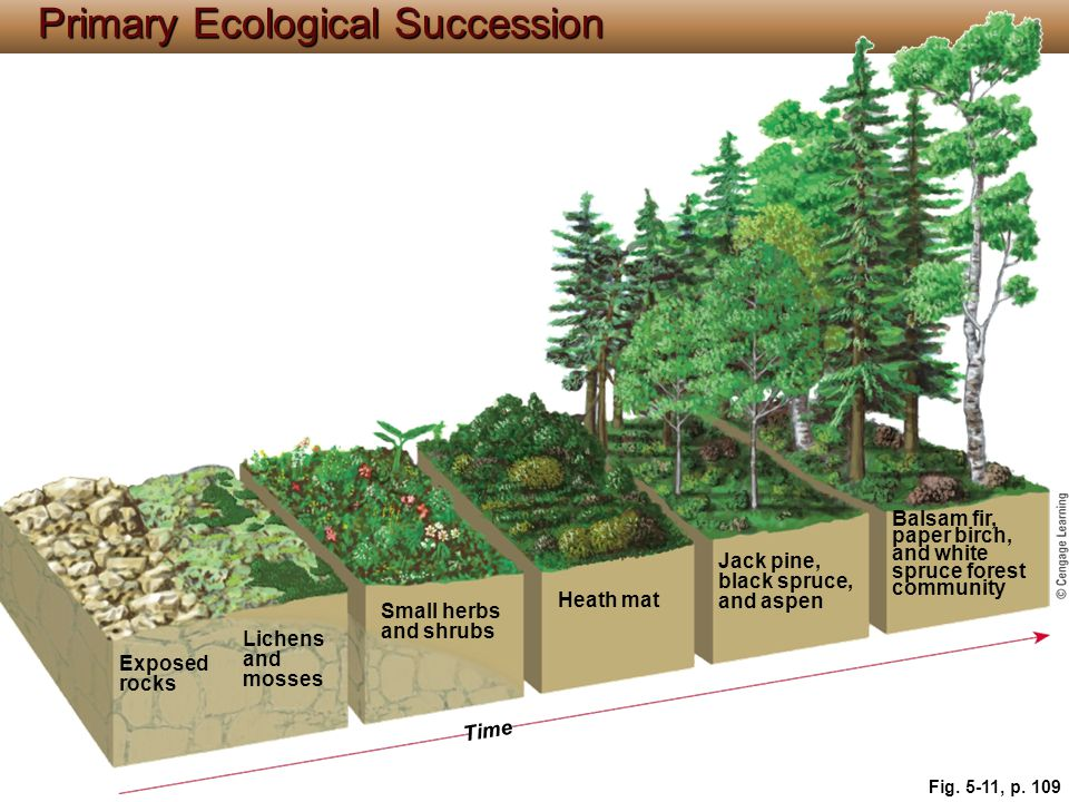 Primary Ecological Succession Balsam fir, paper birch, and white spruce forest community Jack pine, black spruce, and aspen Heath mat Small herbs and shrubs Lichens and mosses Exposed rocks Time Fig.