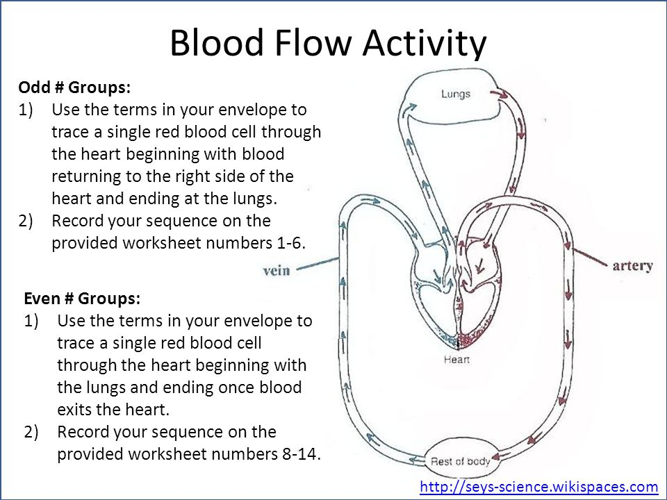 Blood Flow Activity Odd # Groups: 1)Use the terms in your envelope to trace a single red blood cell through the heart beginning with blood returning to the right side of the heart and ending at the lungs.