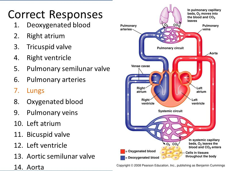 Correct Responses 1.Deoxygenated blood 2.Right atrium 3.Tricuspid valve 4.Right ventricle 5.Pulmonary semilunar valve 6.Pulmonary arteries 7.Lungs 8.Oxygenated blood 9.Pulmonary veins 10.Left atrium 11.Bicuspid valve 12.Left ventricle 13.Aortic semilunar valve 14.Aorta