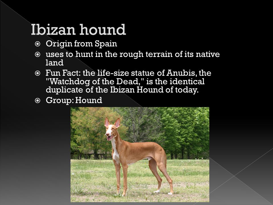  Origin from Spain  uses to hunt in the rough terrain of its native land  Fun Fact: the life-size statue of Anubis, the