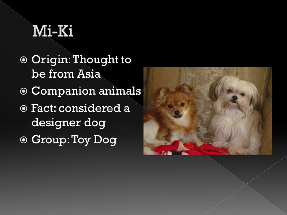  Origin: Thought to be from Asia  Companion animals  Fact: considered a designer dog  Group: Toy Dog