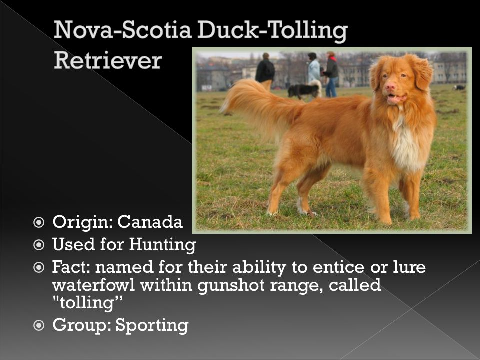  Origin: Canada  Used for Hunting  Fact: named for their ability to entice or lure waterfowl within gunshot range, called tolling  Group: Sporting