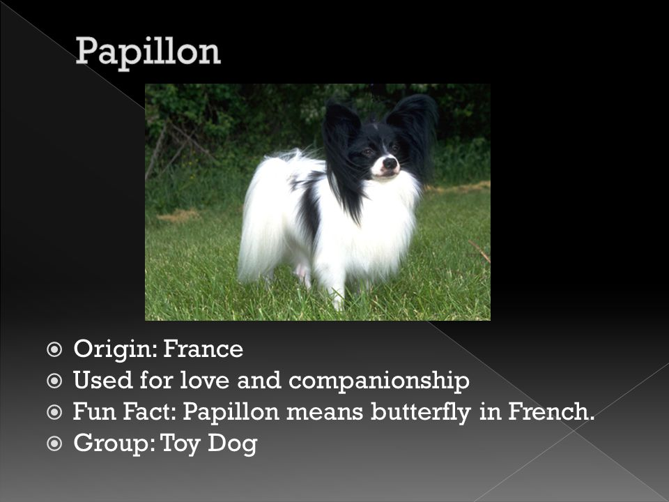  Origin: France  Used for love and companionship  Fun Fact: Papillon means butterfly in French.  Group: Toy Dog