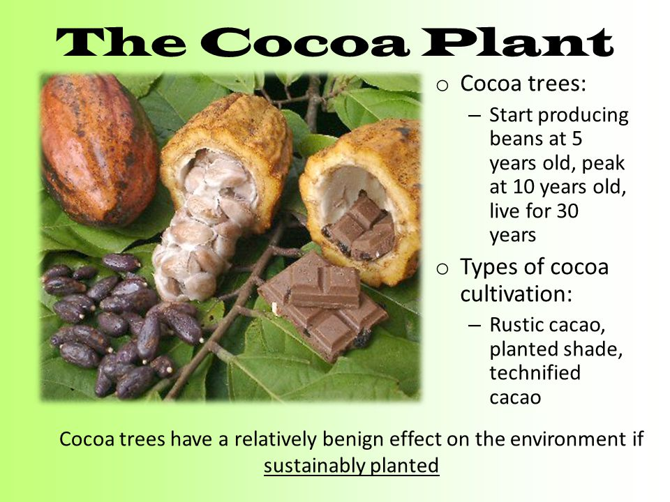 The Cocoa Plant o Cocoa trees: – Start producing beans at 5 years old, peak at 10 years old, live for 30 years o Types of cocoa cultivation: – Rustic