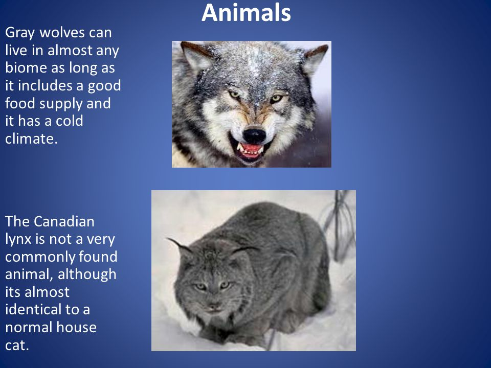 Animals Gray wolves can live in almost any biome as long as it includes a good food supply and it has a cold climate. The Canadian lynx is not a very