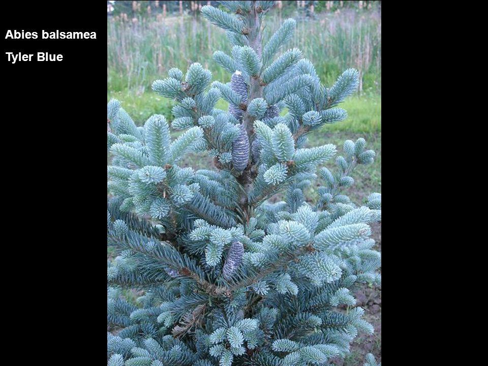 Abies concolor Compacta