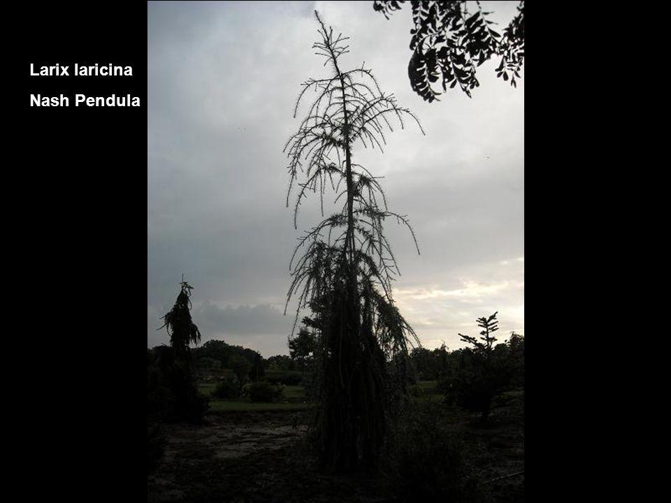 Larix laricina Nash Pendula
