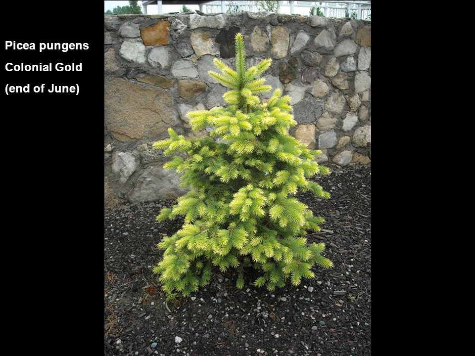 Picea pungens Colonial Gold (end of June)
