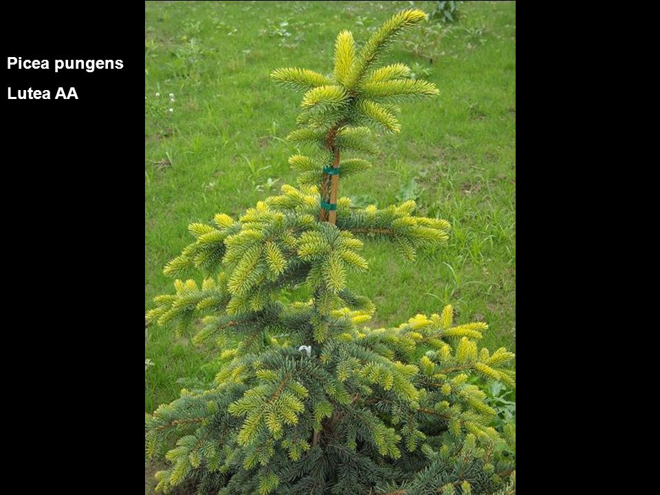 Picea pungens Lutea AA