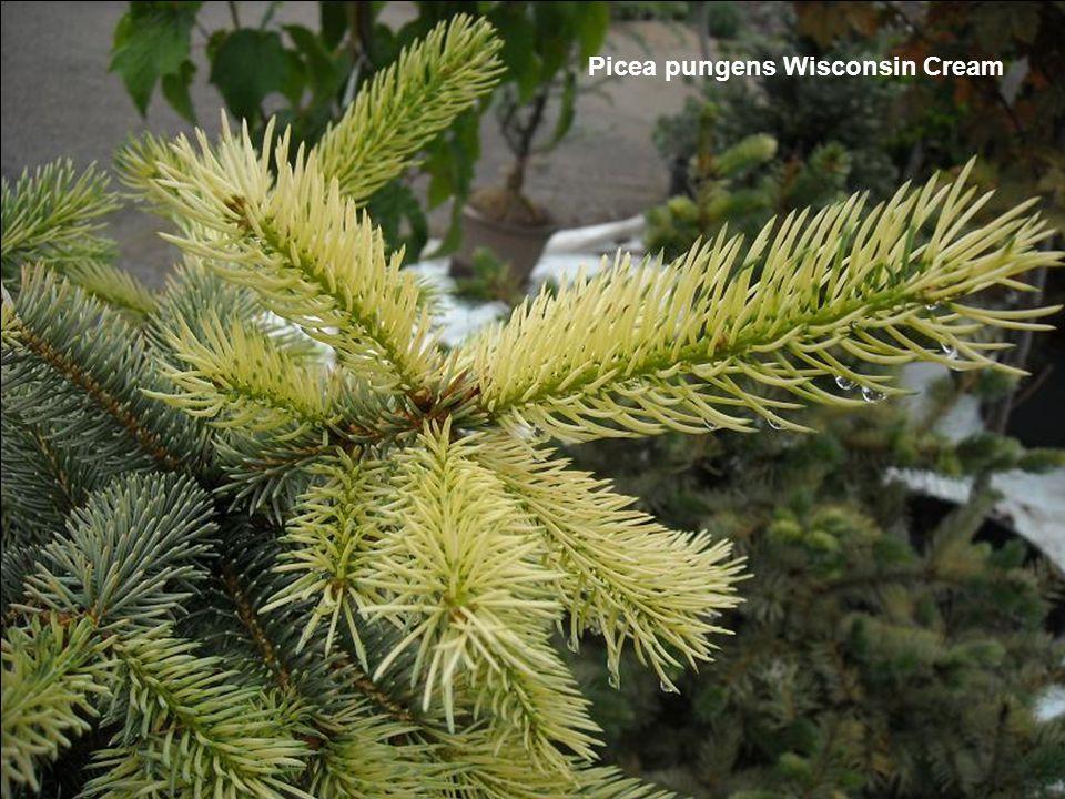 Picea pungens Wisconsin Cream