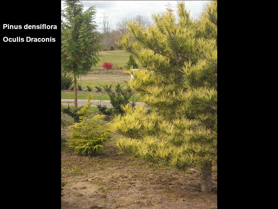 Pinus densiflora Oculis Draconis