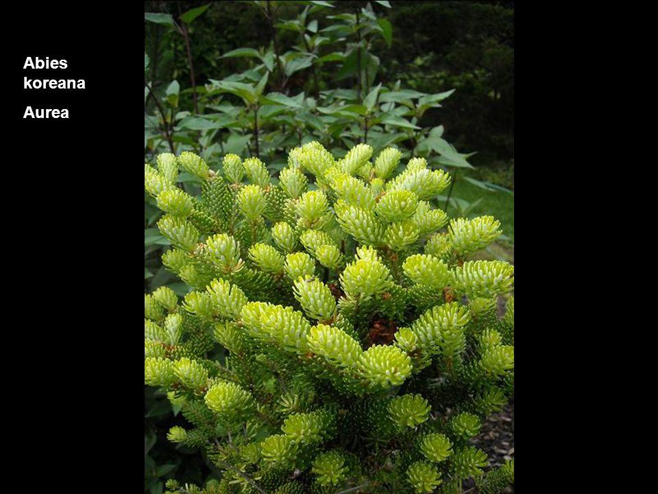 Picea engelmanni Bush's Lace