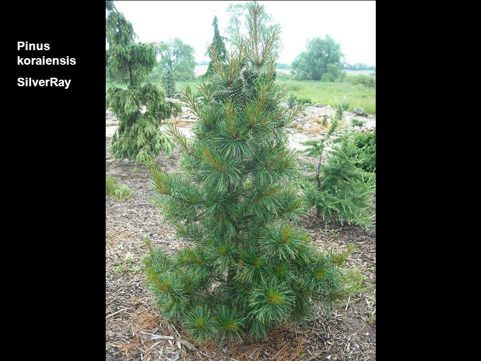 Pinus koraiensis SilverRay