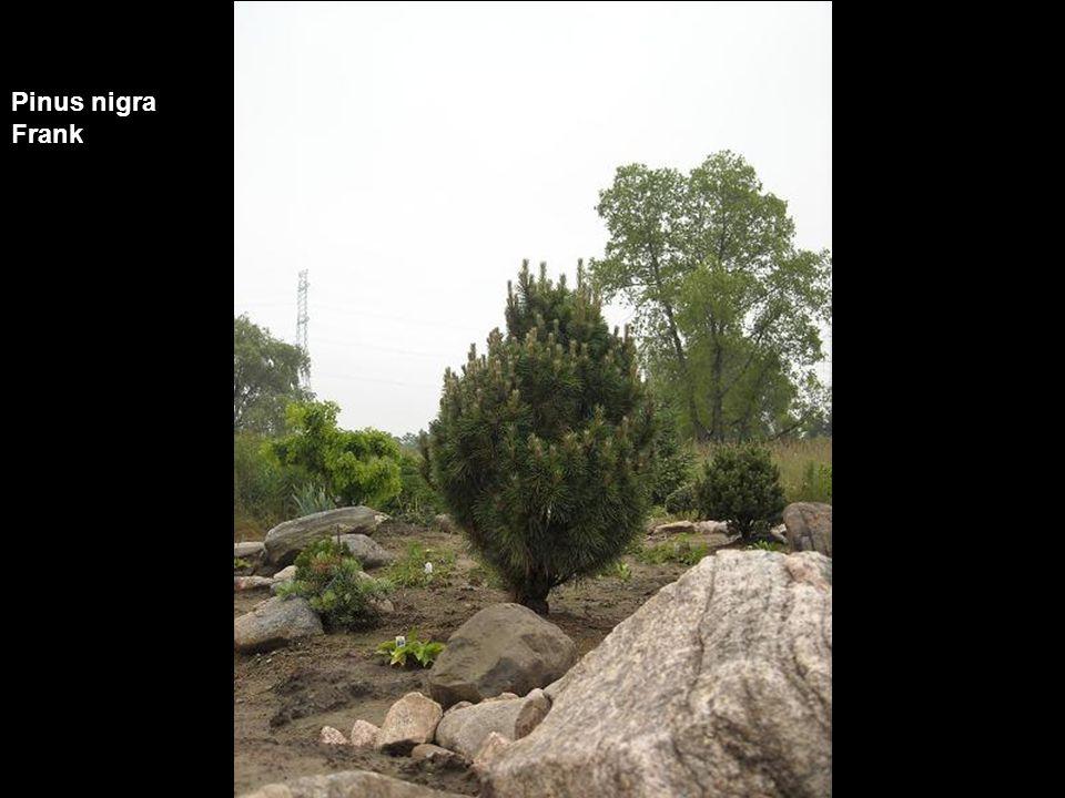 Pinus nigra Frank