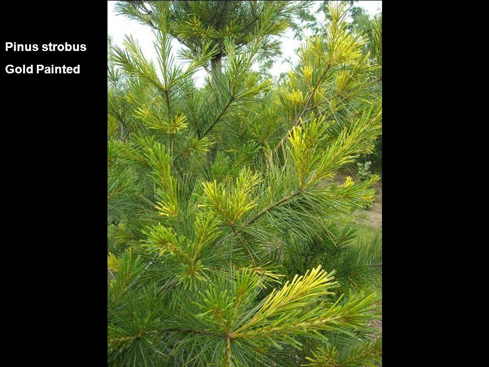 Pinus strobus Gold Painted