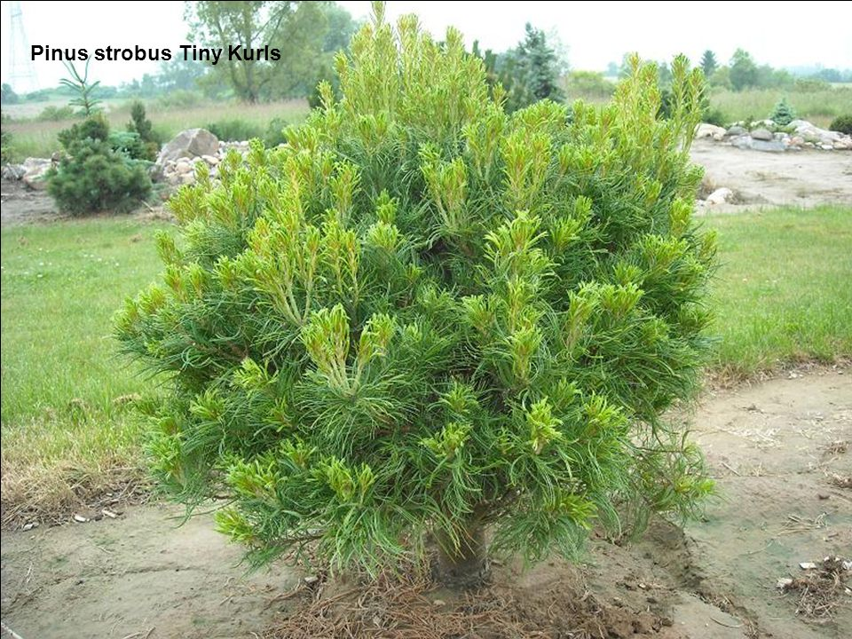 Pinus strobus Tiny Kurls