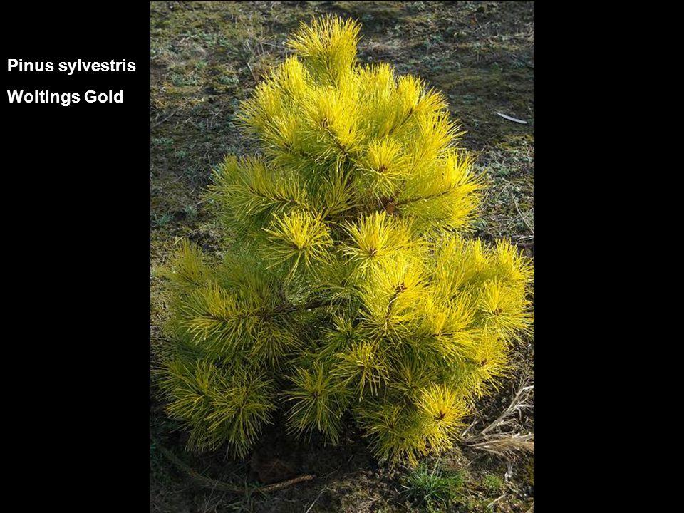 Pinus sylvestris Woltings Gold