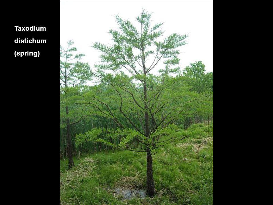 Taxodium distichum (spring)