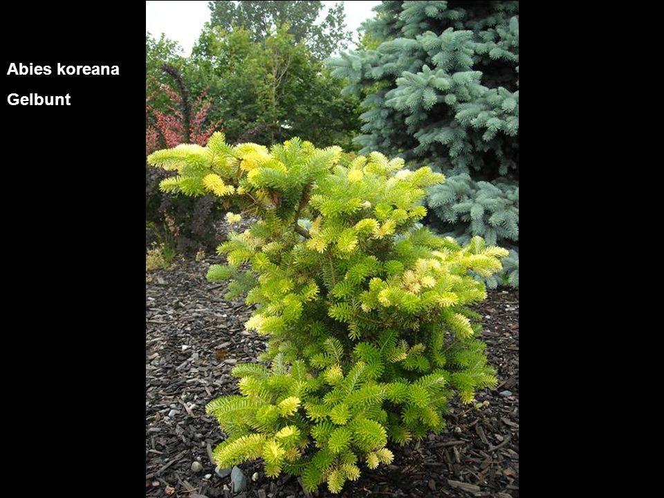 Juniperus communis Arnoldiana with Juniperus chin. Daub's Frosted