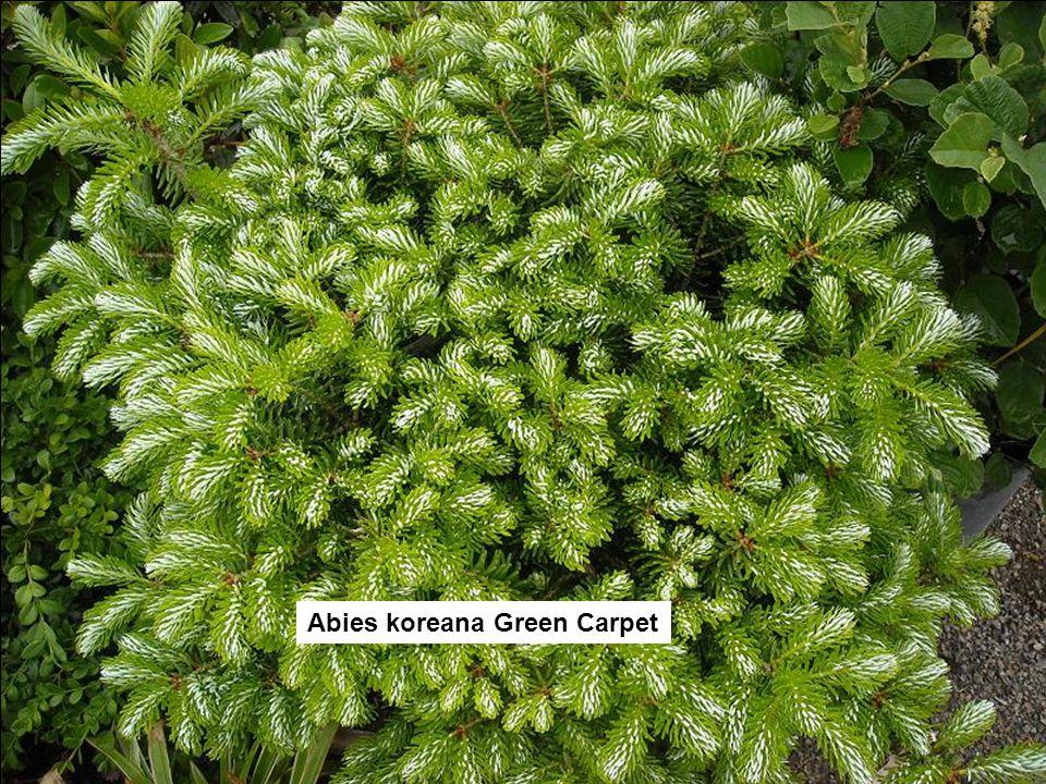Abies koreana Green Carpet