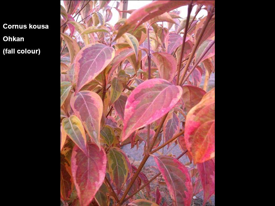 Cornus kousa Ohkan (fall colour)
