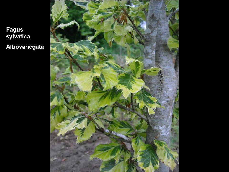 Fagus sylvatica Albovariegata
