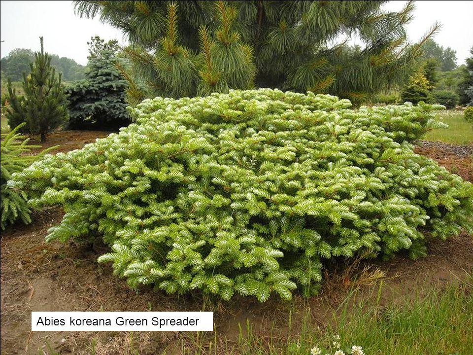 Abies koreana Green Spreader