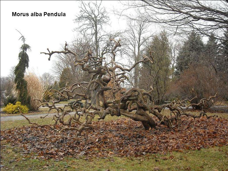 Morus alba Pendula