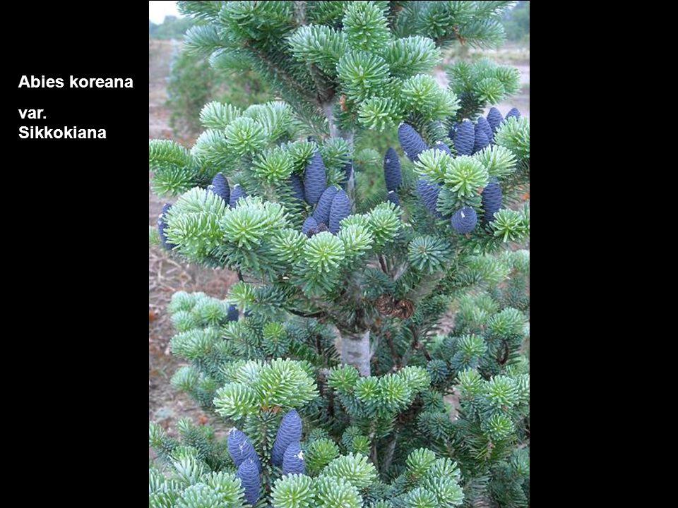 Fagus sylvatica Torulosa Purpurea