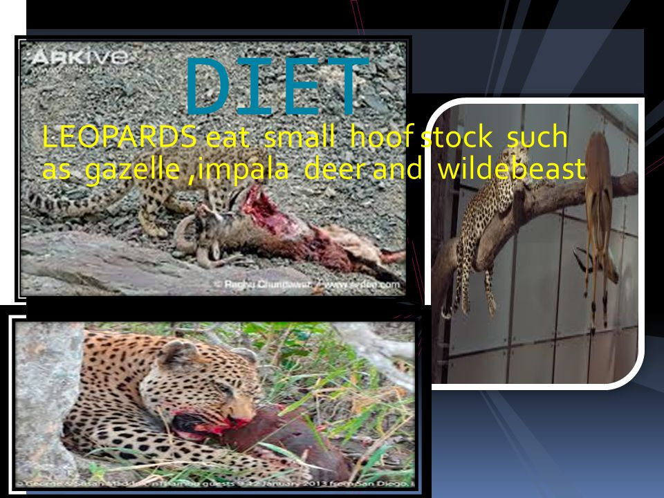 LEOPARDS eat small hoof stock such as gazelle,impala deer and wildebeast. DIET
