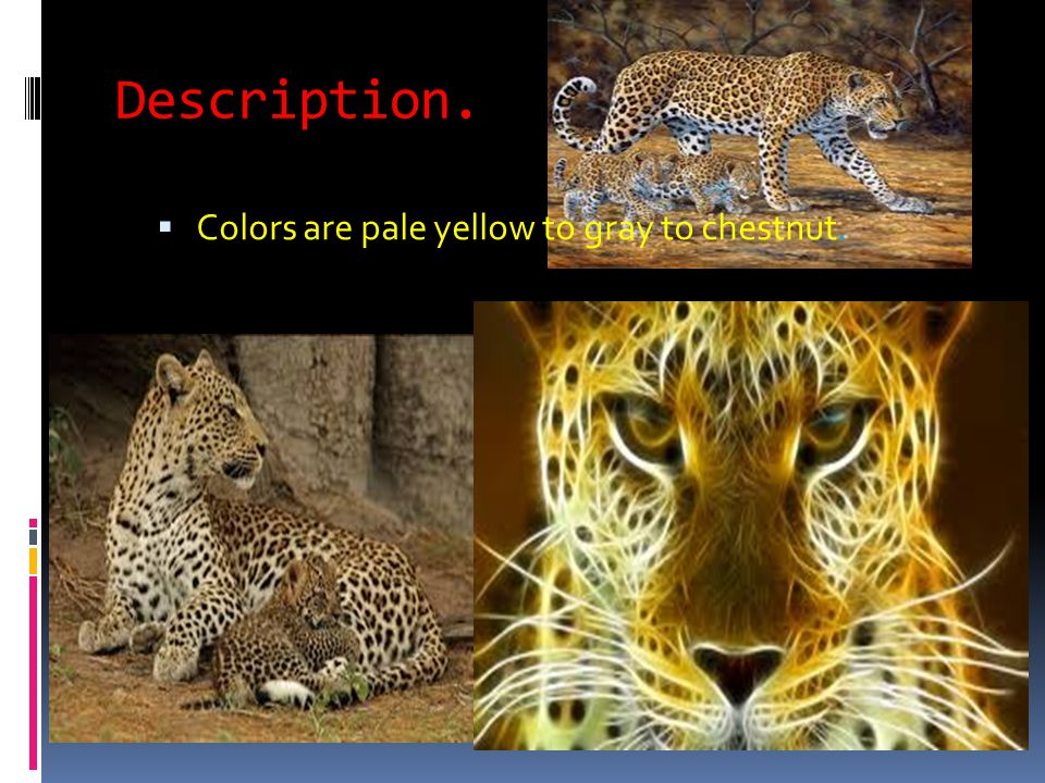Description.  Colors are pale yellow to gray to chestnut.