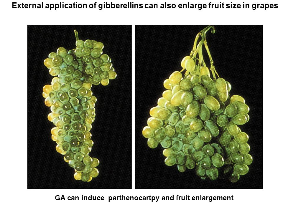 External application of gibberellins can also enlarge fruit size in grapes GA can induce parthenocartpy and fruit enlargement