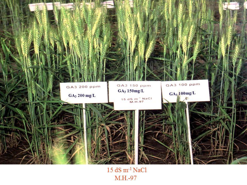 15 dS m -1 NaCl M.H.-97 GA 3 200 mg/L GA 3 150mg/L GA 3 100mg/L