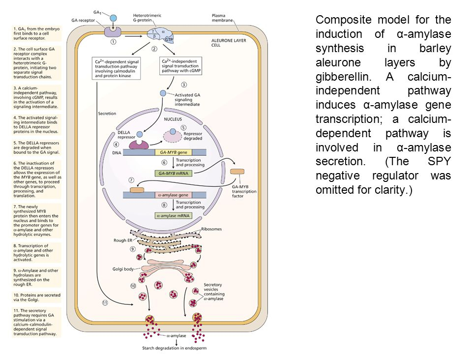 Composite model for the induction of α-amylase synthesis in barley aleurone layers by gibberellin. A calcium- independent pathway induces α-amylase ge