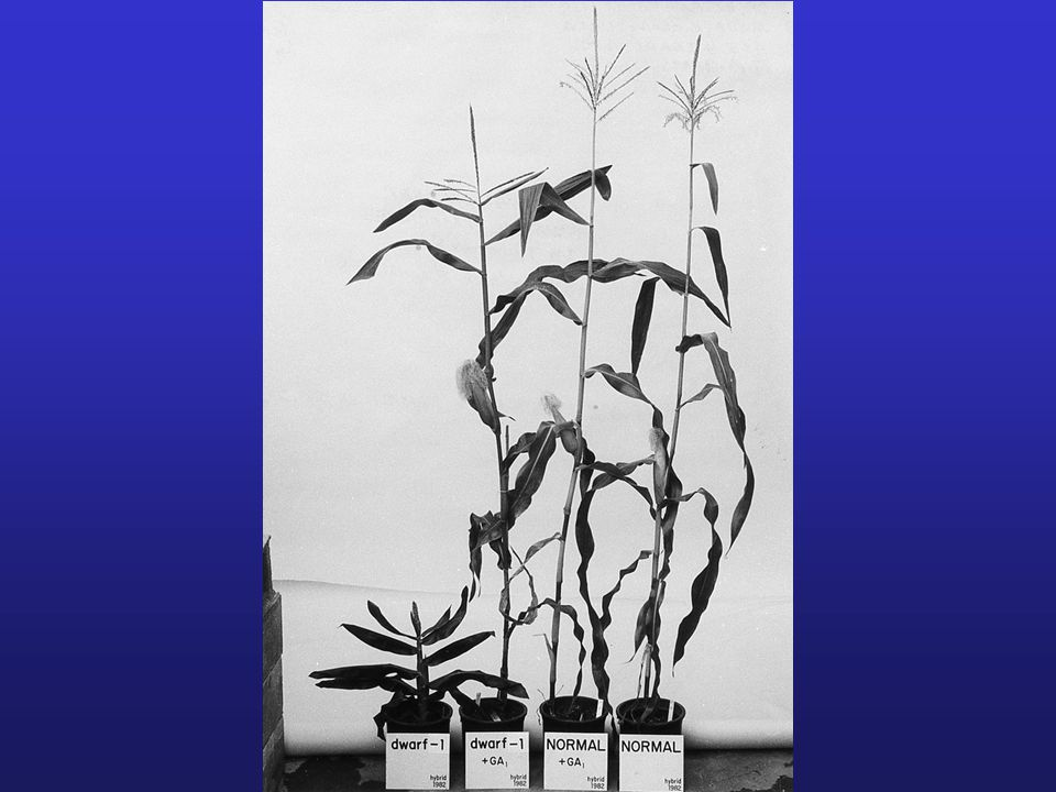 DISCOVERY OF GIBBERELLINS 1. BAKANAE OR FOOLISH SEEDLING DISEASE OF RICE : plants grew too talkk and toppled over.