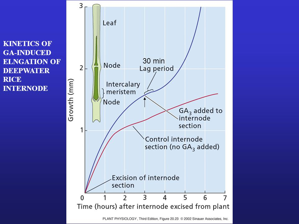 Genetically Engineered Dwarf Wheat Plants Overexpressing GA 2-ox, which degrades GA 1