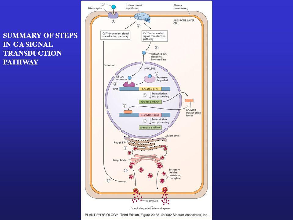 EFFECT OF GA ON CALCIUM IN BARLEY ALEURONE LAYER PROTOPLAST CONTROL + GA 3 GA 3 + ABA (ABSCISIC ACID) Low Cytoplasmic [Ca2+] High