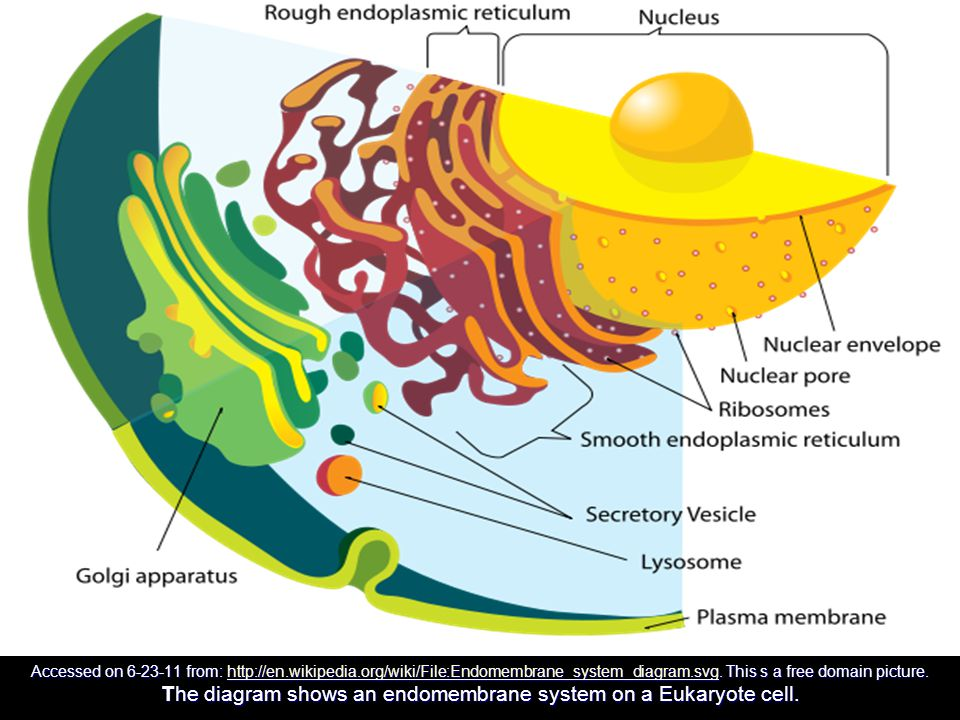 Accessed on 6-23-11 from: http://en.wikipedia.org/wiki/File:Endomembrane_system_diagram.svg. This s a free domain picture. The diagram shows an endome