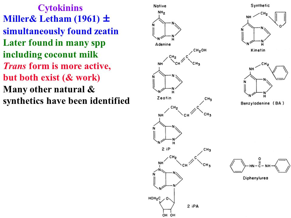 Cytokinins Miller& Letham (1961) ± simultaneously found zeatin Later found in many spp including coconut milk Trans form is more active, but both exist (& work) Many other natural & synthetics have been identified